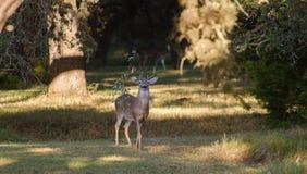 Les cerfs communs de Whitetailed de trophée s'opposent avec la branche dans des andouillers, bois de flottage le Texas image stock