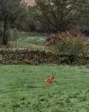 Les cerfs communs effrayés de Langdale photographie stock libre de droits