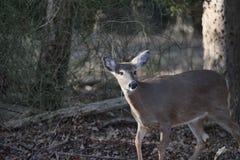 Les cerfs communs en bois ont effrayé photographie stock