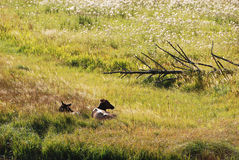 Les cerfs communs en parc de yellowstone Photos libres de droits