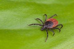Les cerfs communs font tic tac détail Ricinus d'Ixodes Arachnide sur le fond vert images libres de droits