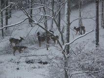 Les cerfs communs frôlent dans la neige Image stock