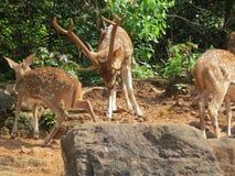 Les cerfs communs impressionnants avec des klaxons image libre de droits