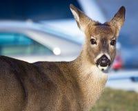 Les cerfs communs indiquant, ne me suivent pas à la voiture ! Photographie stock