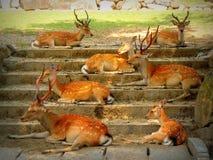 Les cerfs communs japonais de Sika se reposant sur un escalier en Nara Wakakusa se garent images libres de droits