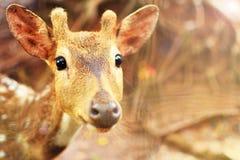 Les cerfs communs mignons animaux (cervidés de famille) se ferment avec le fond de zoo Image stock