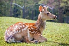 Les cerfs communs repérés Photographie stock libre de droits