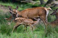 Les cerfs communs rouges allaitent son veau Photo libre de droits