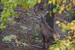 Les cerfs communs rouges - vue arrière Photos stock