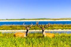 Les cerfs communs s'approchent de l'eau Images libres de droits
