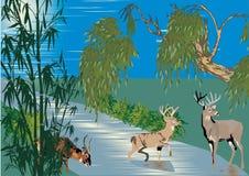 Les cerfs communs s'approchent du fleuve dans la forêt Photo libre de droits