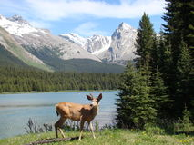 Les cerfs communs s'approchent du lac photo libre de droits