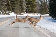 Les cerfs communs sautant à travers la route près du parc national d'Itasca photo libre de droits