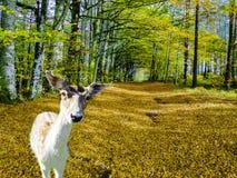 Les cerfs communs sont sortis de la forêt dans une clairière photographie stock