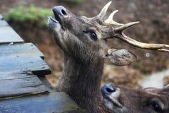 Les cerfs communs veulent la nourriture Photographie stock