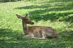 Les cerfs communs vivent dans le jardin Thaïlande Photos libres de droits