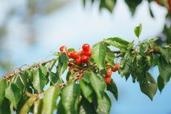 Les cerises mûrissent sur une branche d'arbre photos libres de droits