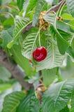 Les cerises rouge foncé porte des fruits, cerise d'arbre avec les feuilles vertes Photos stock