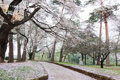 Les cerisiers à Omiya se garent, Saitama, Japon au printemps Avec des pétales de sakurafubuki et de fleurs de cerisier au sol Images libres de droits