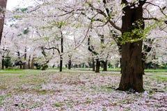 Les cerisiers à Omiya se garent, Saitama, Japon au printemps Avec des pétales de sakurafubuki et de fleurs de cerisier au sol Images stock