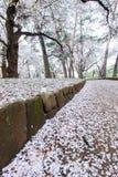 Les cerisiers à Omiya se garent, Saitama, Japon au printemps Avec des pétales de sakurafubuki et de fleurs de cerisier au sol Photographie stock libre de droits