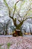 Les cerisiers à Omiya se garent, Saitama, Japon au printemps Avec des pétales de sakurafubuki et de fleurs de cerisier au sol Photos libres de droits