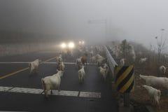 Les chèvres à marcher sur la route Photos stock