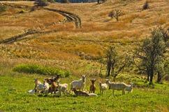 Les chèvres au coutryside d'automne aménagent en parc un jour ensoleillé, montagne de Cemerno Photographie stock libre de droits