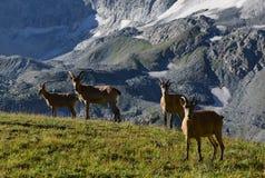 Les chèvres caucasiennes occidentales Images stock