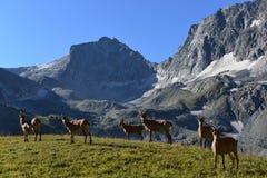 Les chèvres caucasiennes occidentales Photo libre de droits