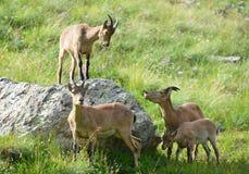 Les chèvres caucasiennes occidentales Photos libres de droits
