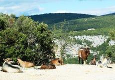Les chèvres de montagne dans l'Ardeche se gorgent dans les Frances Image stock