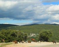 Les chèvres de montagne dans l'Ardeche se gorgent, des Frances Photo stock