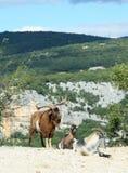 Les chèvres de montagne dans l'Ardeche se gorgent, des Frances Images libres de droits