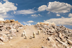 Les chèvres de montagne de roche du Colorado marchent sur un chemin de terre Images libres de droits