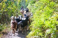 Les chèvres de montagne marche à la montagne Photographie stock