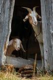 Les chèvres de Nubian se cachent dans l'ombre et le regard intéressé à nous photos libres de droits