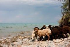 Les chèvres noires et blanches frôlent près d'un lac de montagne Image stock