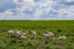 Les chèvres rurales d'été de la Nouvelle Zélande de terres cultivables de bétail mammifères d'élevage agnellent le troupeau de ca Images stock