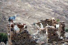 Les chèvres sont libres dans les montagnes. Photo libre de droits
