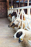 Chèvre de sorte Photos libres de droits
