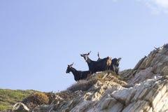 Les chèvres sur Zarko échouent la falaise, Evia, Grèce Photos libres de droits