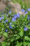 Les chamaedrys de Veronica fleurit au printemps photographie stock libre de droits