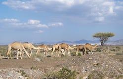 Les chameaux Photos stock