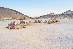 Les chameaux Photo libre de droits