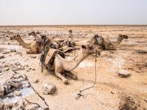 Les chameaux de dromadaire jused pour transporter le sel dans le Danakil Depressi image libre de droits