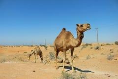 Les chameaux errent les déserts aux EAU photos stock