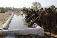 Les chameaux indiens boivent l'eau images stock