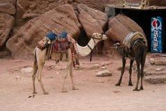 Les chameaux se ferment à PETRA, Jordanie photo stock