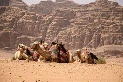 Les chameaux se reposent sur le sable dans le désert Wadi Rum, Jordanie photographie stock